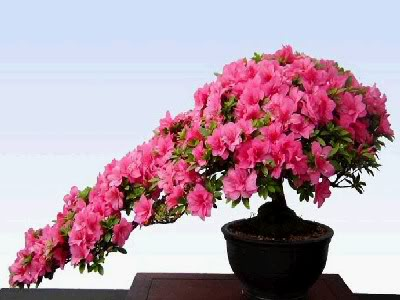 Kết quả hình ảnh cho cây hoa đào đẹp